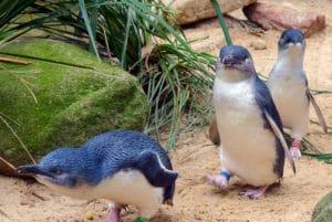 Phillip Islandのペンギンパレード