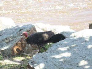 ヌーサ国立公園では野生のターキーがあちこちにいます
