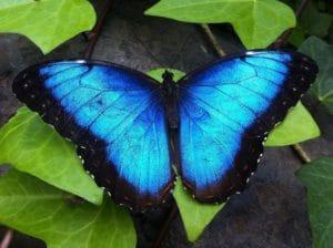 キュランダでは青い蝶々(ユリシス)を探しましょう。