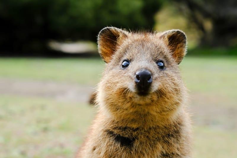 世界一幸せな動物クアッカワラビー